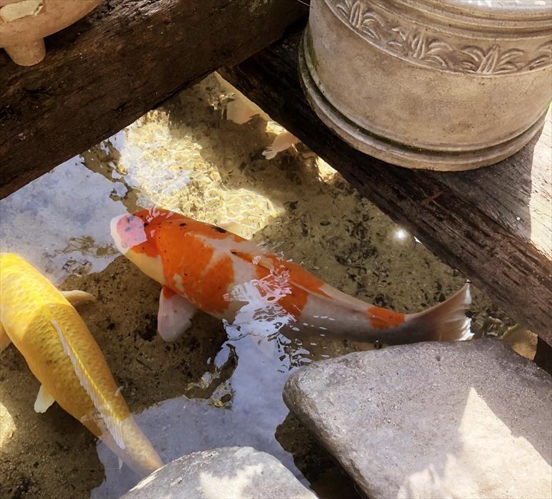 お客様宅の池に住む錦鯉