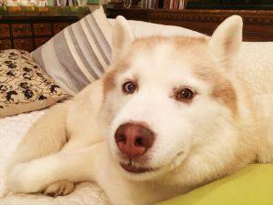 ハスキー犬.2.