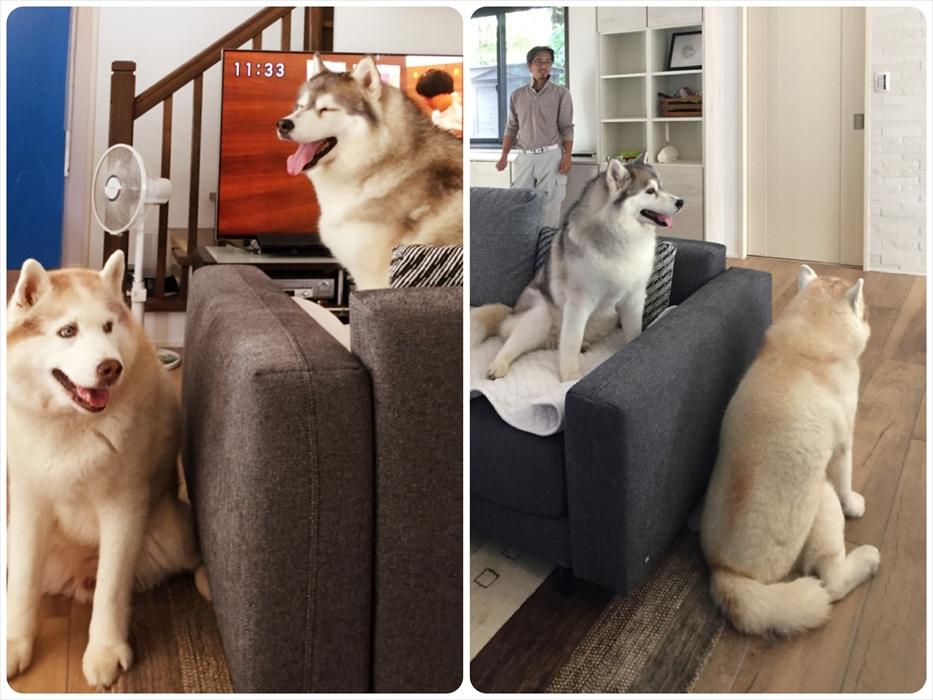リフォーム後のリビングで寛ぐハスキー犬.1
