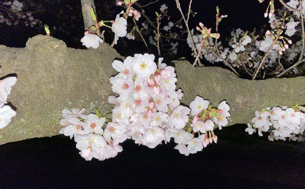 夜間の荷物預かり便近くの桜.2