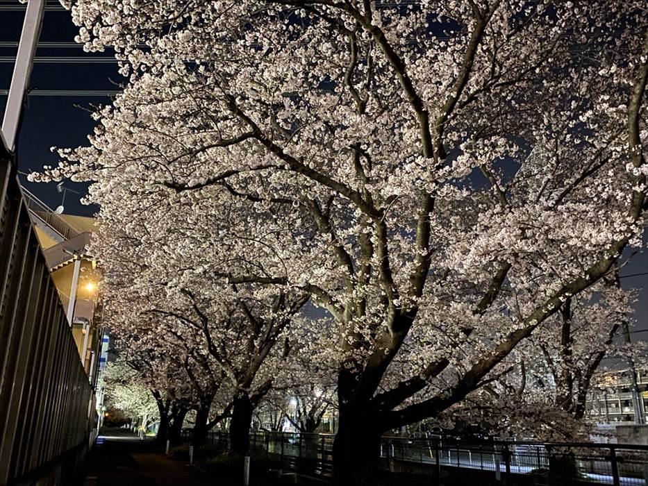 夜間の荷物預かり便近くの桜.3